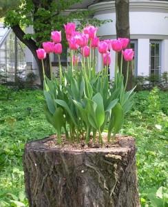 местечко для тюльпанов