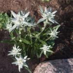 эдельвейс для альпийской горки