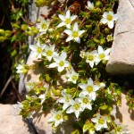 неприхотливые растения для альпийской горки