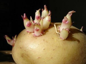 готовый к посадке картофель