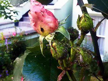 Тля на цветке
