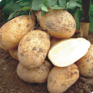 Выращивание картофеля на даче