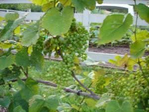 дачный виноградник