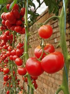 высокорослые томаты на даче