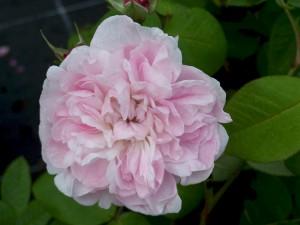 садовая роза