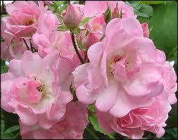 розы в полном цвету