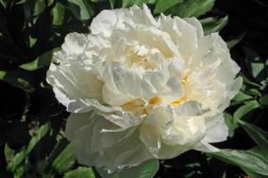 роза в полном цвету