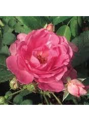 сорт розы без шипов