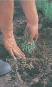 посадка саженца в почву