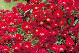 бархатные красные цветы