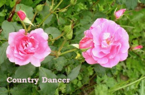 сорт Country Dancer