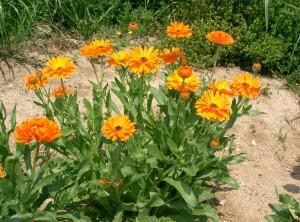 цветение календулы в саду