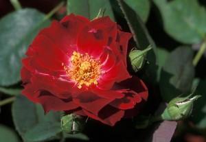 Гибриды мускусной розы