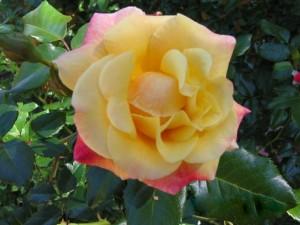 красивая гибридная роза