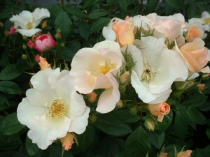 Роза Rosa Sally Holmes