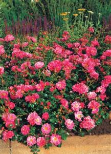 Розы Meidiland