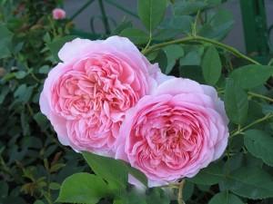 Роза Sonia Rykiel