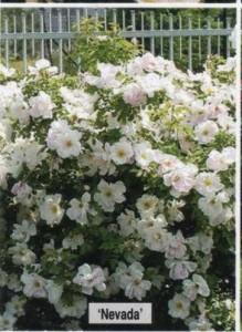 розовый куст в саду