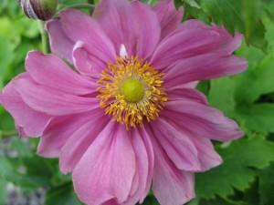 анемона осенняя в полном цвету