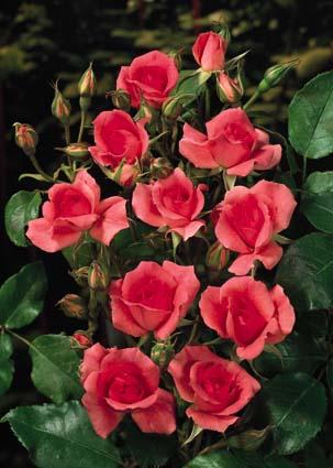 насыщенный цвет цветков