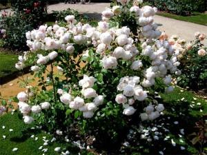 флорибунда в период цветения