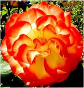 гибридная роза в саду