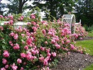 Грунтовые розы