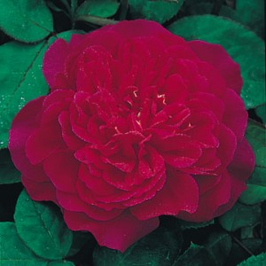 представитель густомахровых роз
