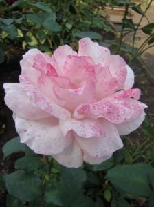моховая роза в цвету