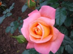 красивый цветок в саду