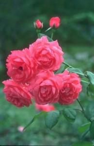 Распродажи роз