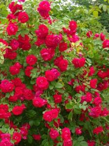такие розы цветут несколько раз за сезон