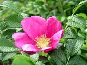 Розы Rugosa