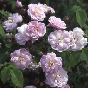 изюминка розария