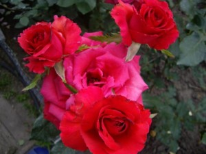 роза без шипов