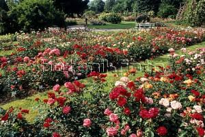 Роза в розарии Зангерхаузен, Германия