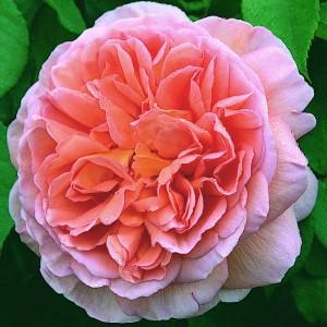Селекция роз
