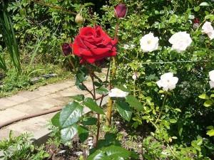 Как правильно срезать розы