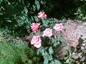 Утерянные сорта роз