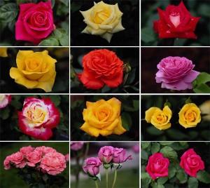 разнообразие сортов роз