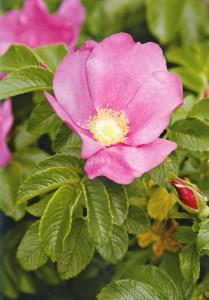дикорастущая немахровая роза