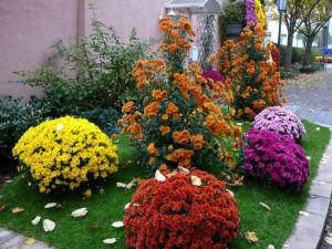 красота хризантем на дачной клумбе
