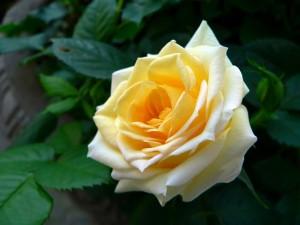 желтая роза в цвету