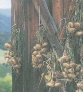 Как хранится урожай лука
