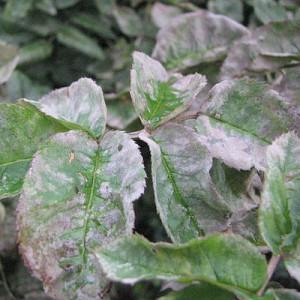 пораженное мучнистой росой растение