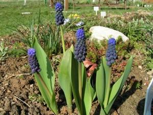 цветки мускари на дачной грядке