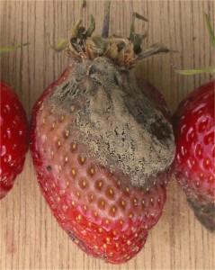 пораженная серой плесенью ягода