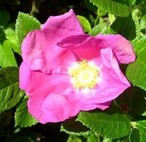 Розы селекционера Роберта Холмса