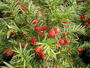 ветви тиса ягодного