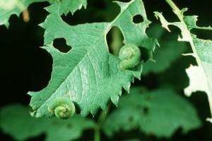 Личинки розанного слизистого пилильщика